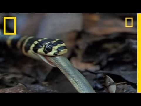 pic of king cobra snake