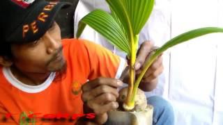 Proses Pembuatan Bonsai Kelapa Dengan Cara Tebas Batang Coconut